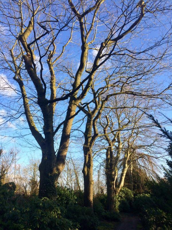 Historische Bäume neben der zukünftigen Baustraße, Foto: Kristina Sassenscheidt